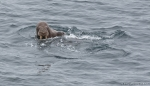 Luke DeCicco took this photograph as we passed this walrus family in the Chukchi Sea.